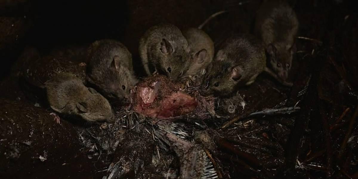 Los ratones gigantes no tienen piedad con las aves de esta isla
