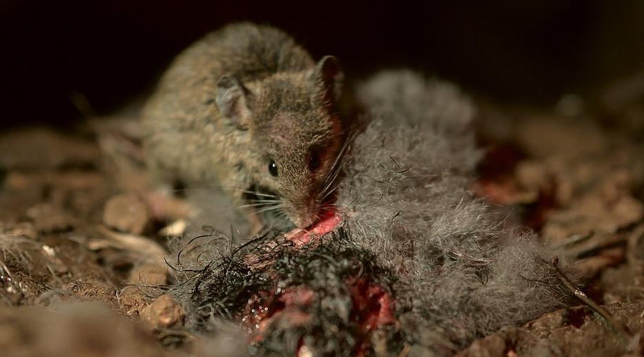 La población de aves marinas se está extinguiendo por los ratones.