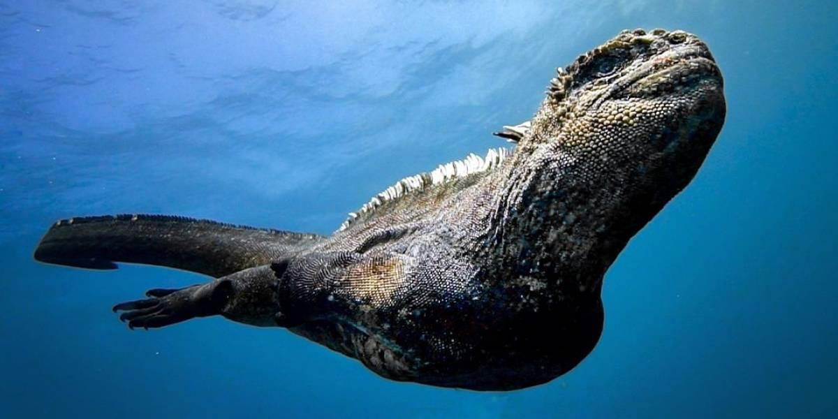 """Captan a un """"mini Godzilla"""" nadando en las Islas Galápagos"""