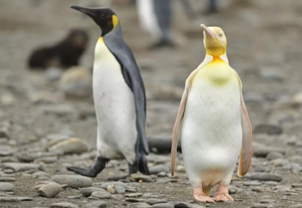 El pingüino amarillo