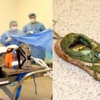 Operan a cocodrilo para sacarle un zapato del estómago