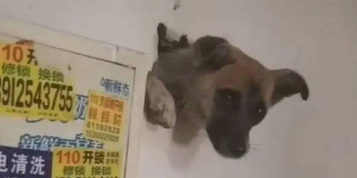 Vídeo: assustado com fogos de artifício, cachorro se esconde dentro da parede de casa