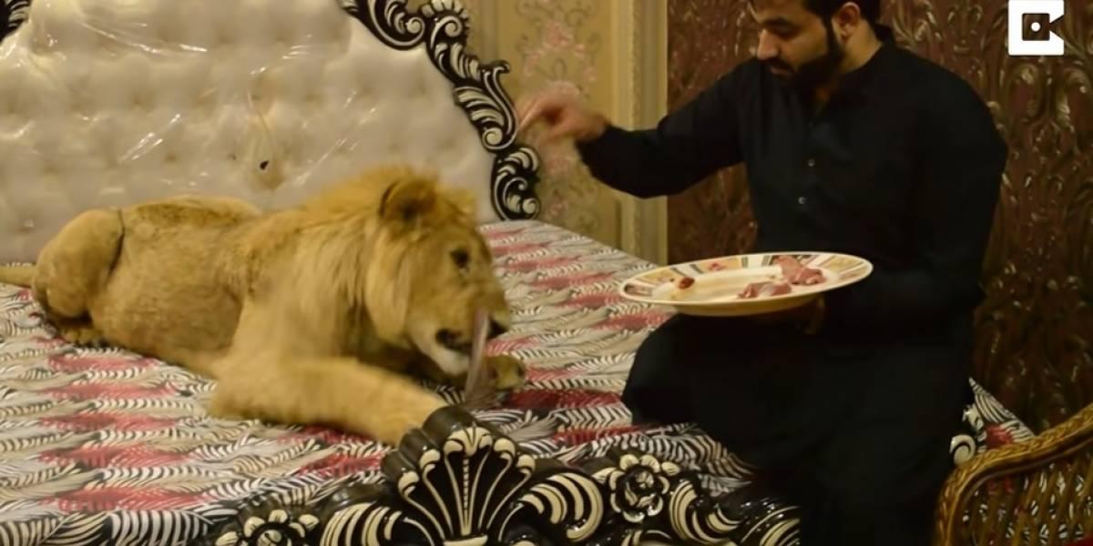 Desconecta.- Este paquistaní tiene un león de 76 kilos viviendo en su casa donde tiene hasta su propia cama