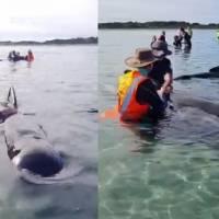 Rescatan voluntarios a ballenas varadas en playa de Nueva Zelanda