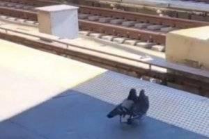 Pombas assassinas: Vídeo mostra como aves empurram rival na frente de um trem
