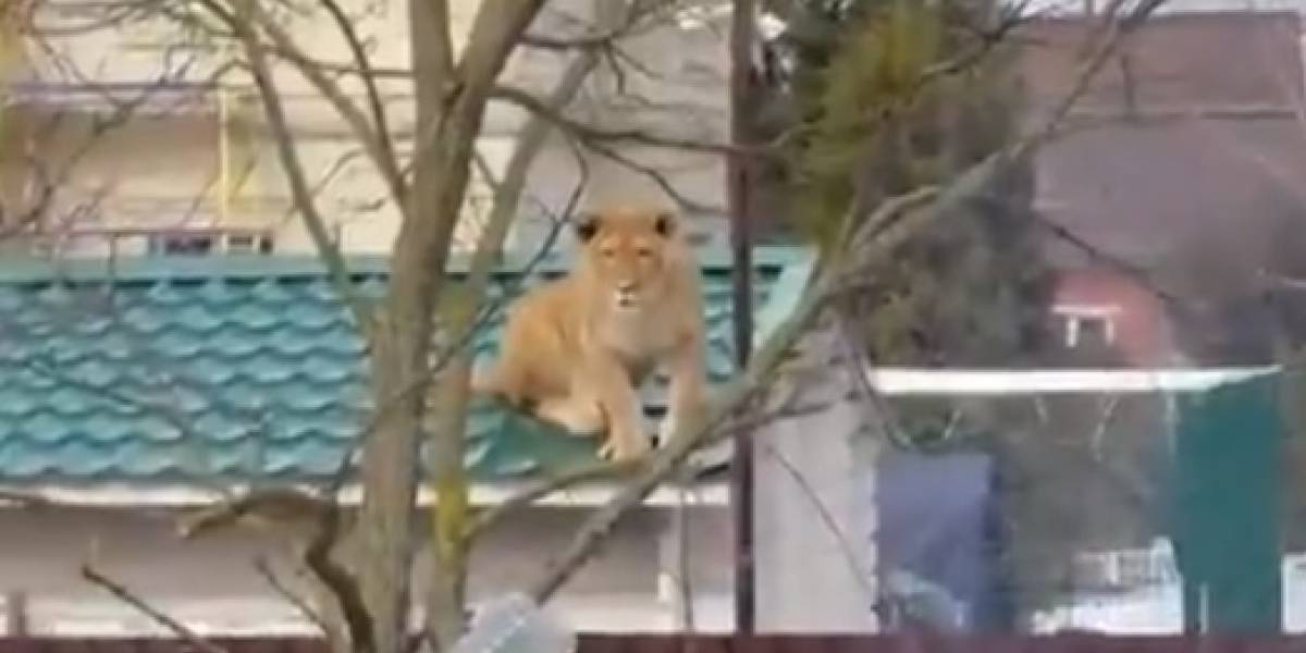 Cosas que pasan en Rusia: vecinos salen a la calle y se encuentran con una leona en el techo de una casa