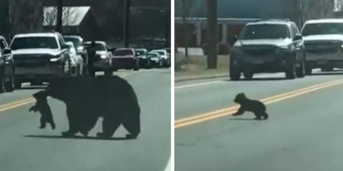 El video que enternece las redes en el que una osa intenta atravesar una avenida con sus cachorros