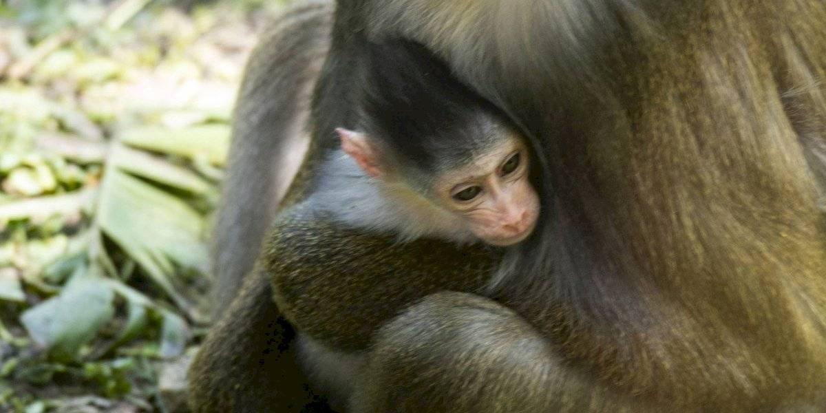Nace bebé mandril en parque temático Magic Kingdom de Disney