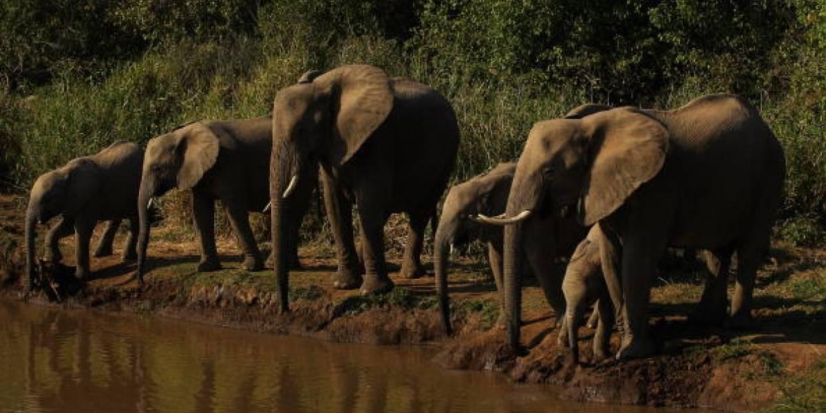 Muere supuesto cazador furtivo pisoteado por elefantes en Sudáfrica