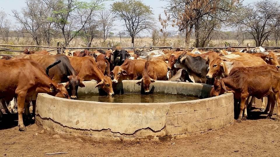 cattle2771153960-a5a4dda5e12111649848f0694a20641d.jpg