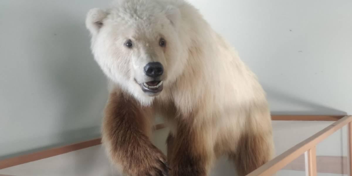 Conoce al oso pizzly, una especie que apareció debido al calentamiento global
