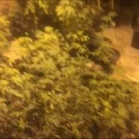 Arrestan a dos tras hallazgo de más de 860 plantas de marihuana en Isabela