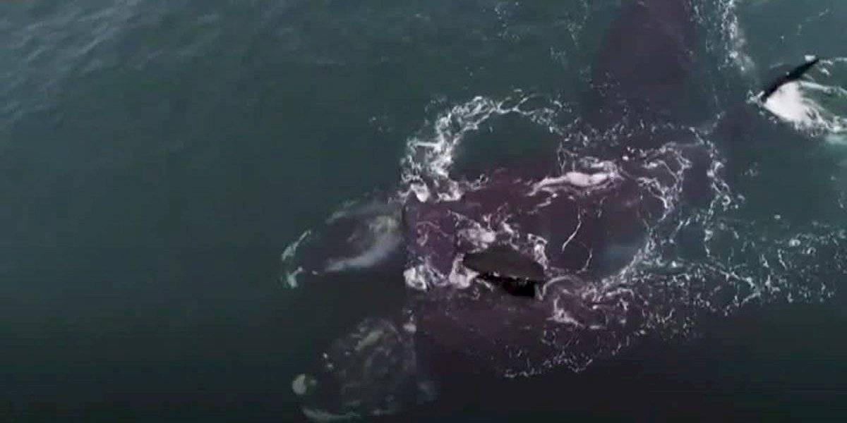 VIDEO: El tierno abrazo de supervivencia de dos ballenas en peligro de extinción