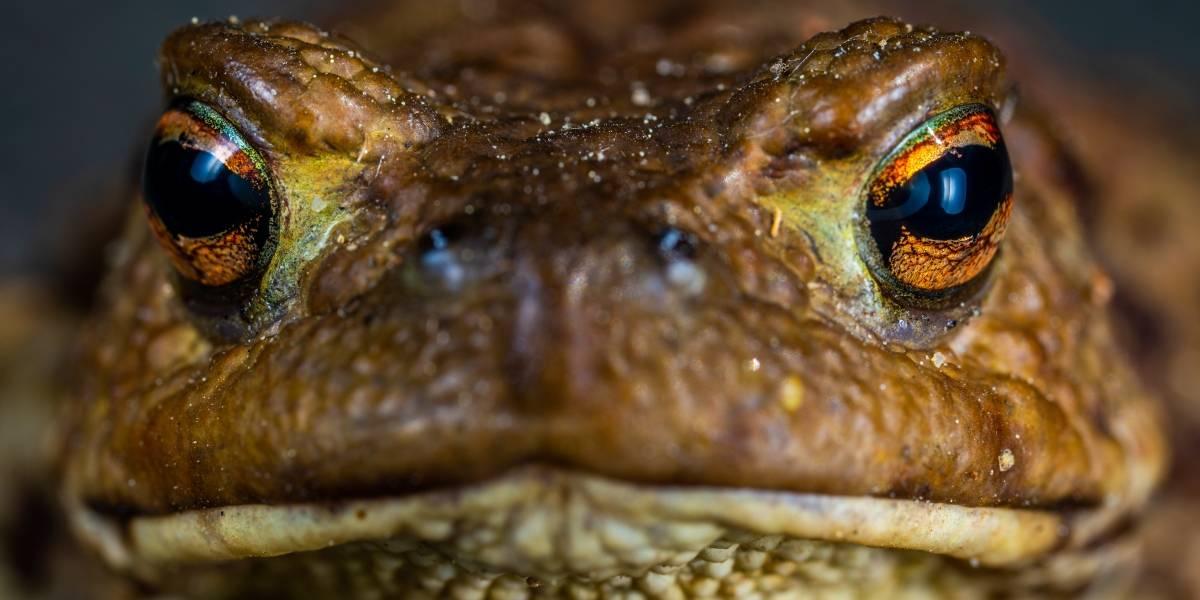 Hallan gigantesca rana del tamaño de un bebé humano en las Islas Salomón