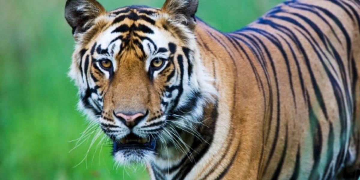 (VIDEO) Captan a tigre en un vecindario de Estados Unidos