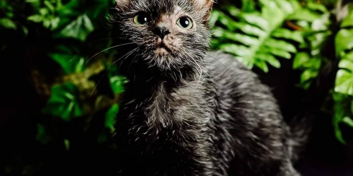 Mujer descubre que su gatita era en realidad un extraño ejemplar de gato lobo