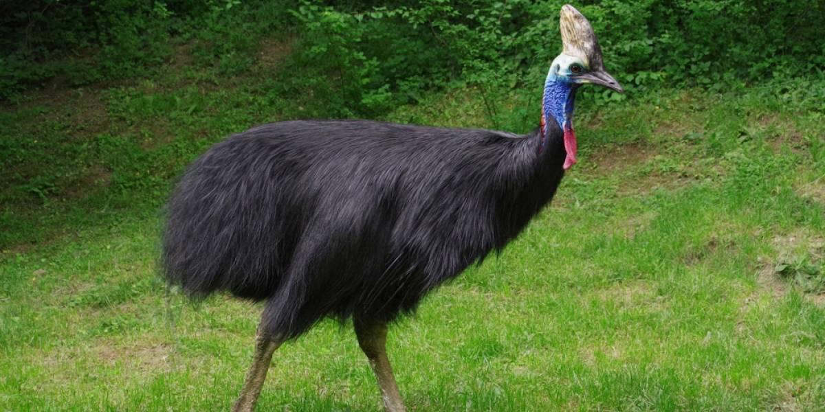 Esta es el ave más peligrosa del mundo: mide casi 2 metros y ataca como velociraptor