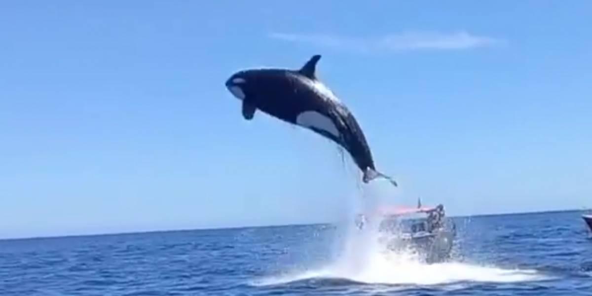 ¡Maravilloso! Orcas sorprenden con saltos espectaculares en Baja California Sur