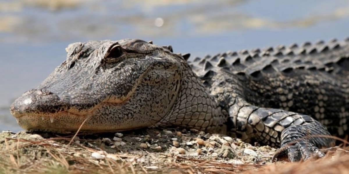 Capturan a caimán que se cree devoró a hombre en Luisiana