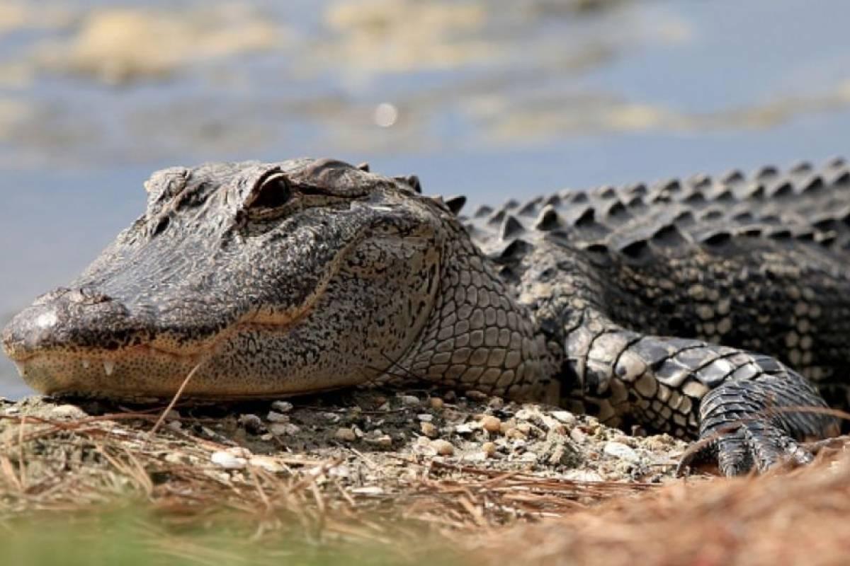 Encuentran restos de un hombre dentro de un caimán