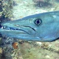 Este es el pez que alegadamente mordió a bañista en Cabo Rojo