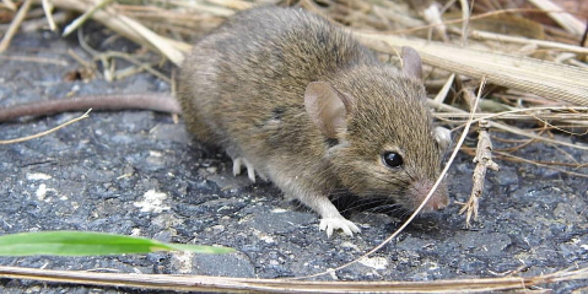 ¡Una pesadilla! Australia enfrenta la peor plaga de ratones en años