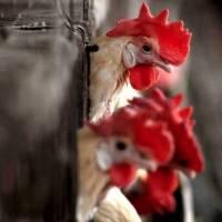 Detectan en China primer contagio de gripe aviar H10N3 en humanos