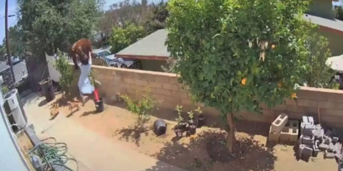 Mujer se enfrentó a oso para salvar a sus perros en California