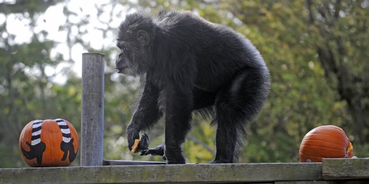 Muere chimpancé más viejo de EEUU en zoológico de San Francisco
