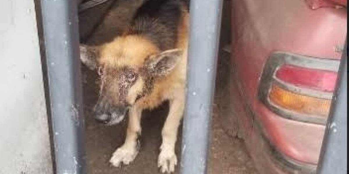 Ponen a dormir perro encontrado en precarias condiciones en San Juan