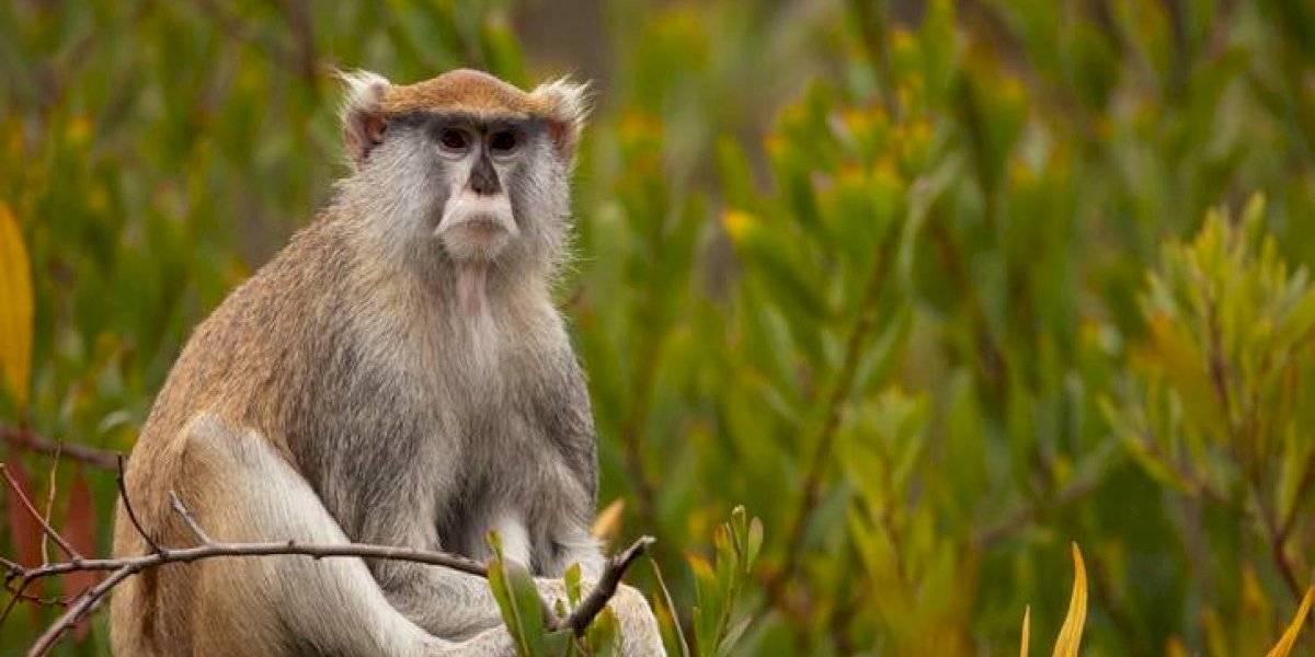 DRNA atrapa veloz mono que destruía cosechas y mantenía atemorizados a residentes en Rincón