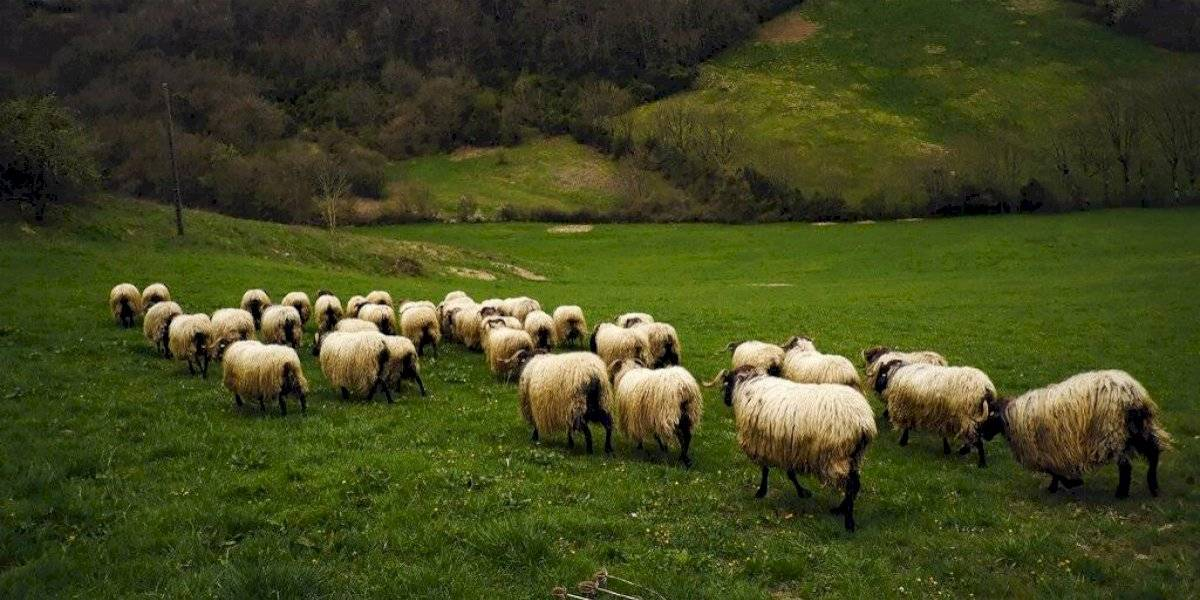 Perro se pierde tras accidente y se pone a pastorear ovejas