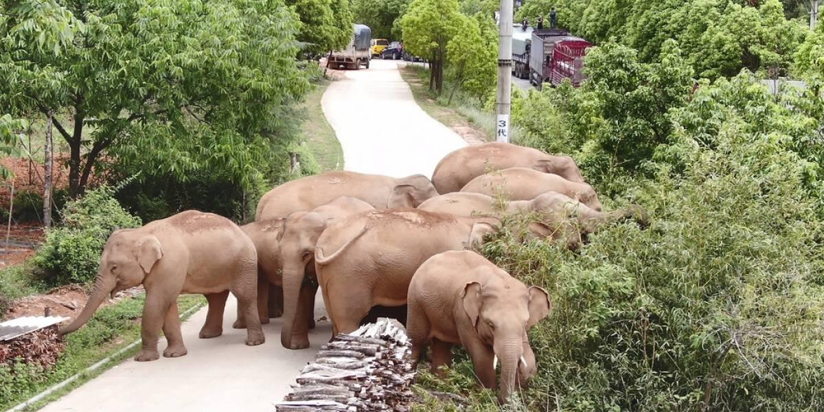 Elefantes errantes de China están de nuevo en movimiento