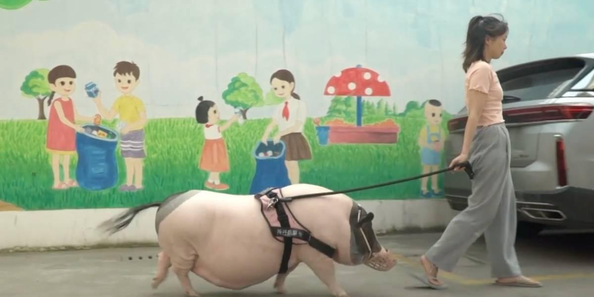 """Mujer china compra un """"minicerdo"""", la estafan y ahora tiene uno de 150 kilos"""