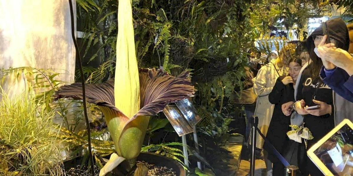 'Flor de cadáver' en peligro de extinción floreció en Polonia