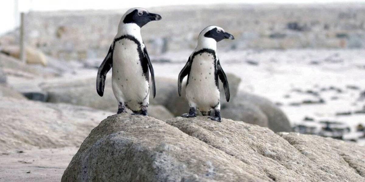 Pingüinos africanos protagonizan nueva serie de Netflix