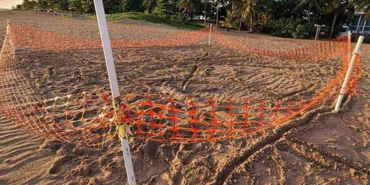 Denuncian vandalismo contra nido de tinglar en playa de Ocean Park