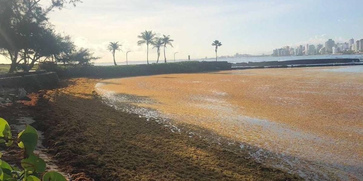 Buscan opciones para manejar el sargazo que llega a nuestras playas