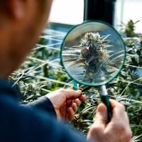 Despenalización de la marihuana podría enfrentar escollos en el Senado