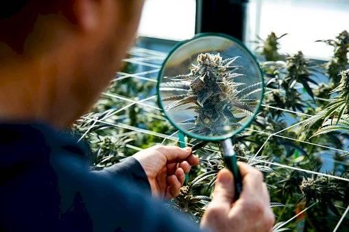 marihuana-3afa3c60697abcde8d7e157dd60b065b.jpg