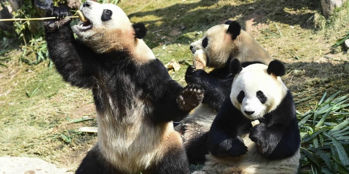 """El oso panda deja de estar en """"peligro de extinción"""""""
