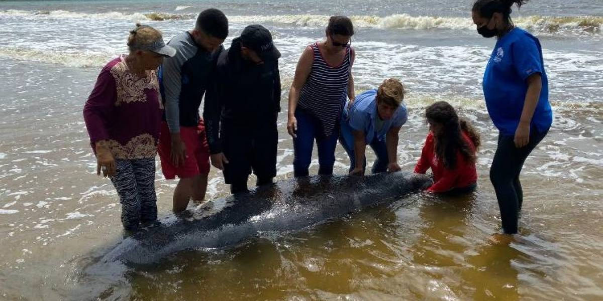 Muere manatí rescatado en Humacao