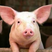 Peste porcina africana: lo que debes saber
