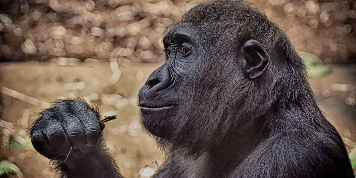 Gorilas salen positivos por coronavirus en zoológico de Atlanta