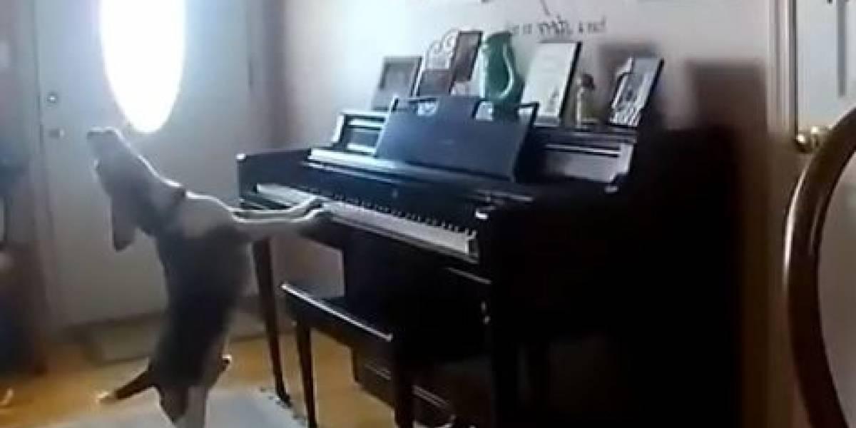 El vídeo del perro pianista que es viral en Twitter