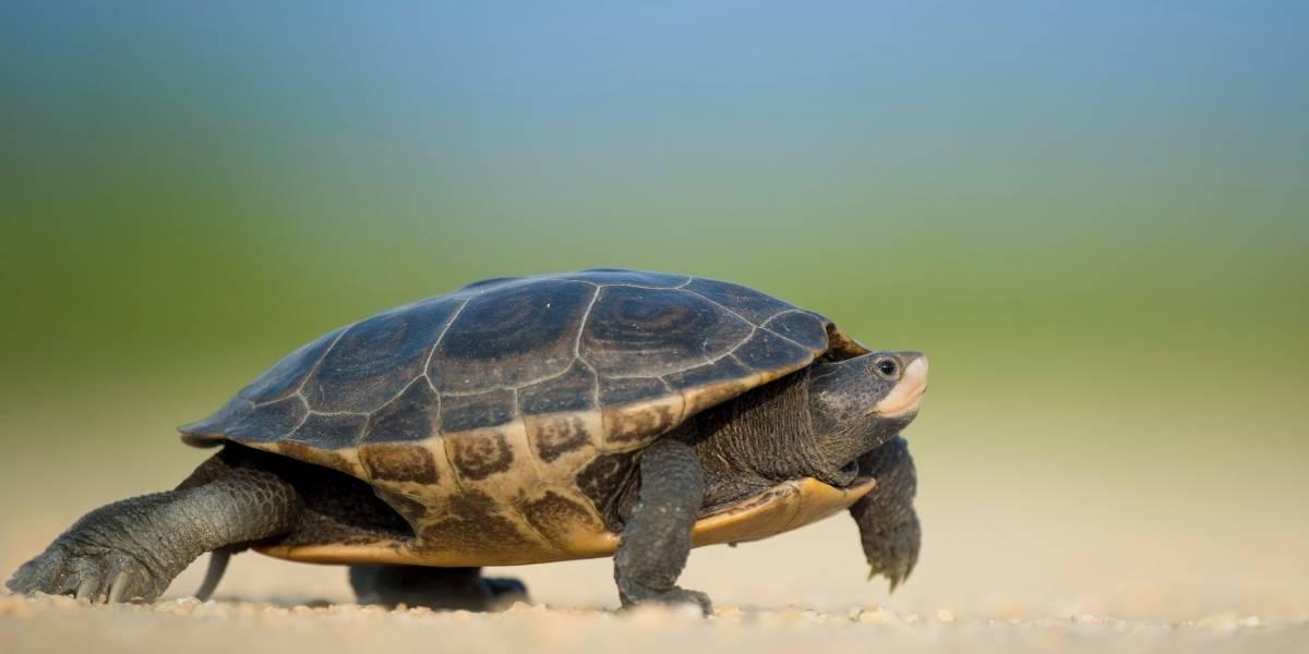 Se llevan dos tortugas de residencia en Cupey